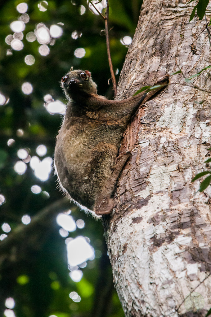 Colugo or Flying Lemur