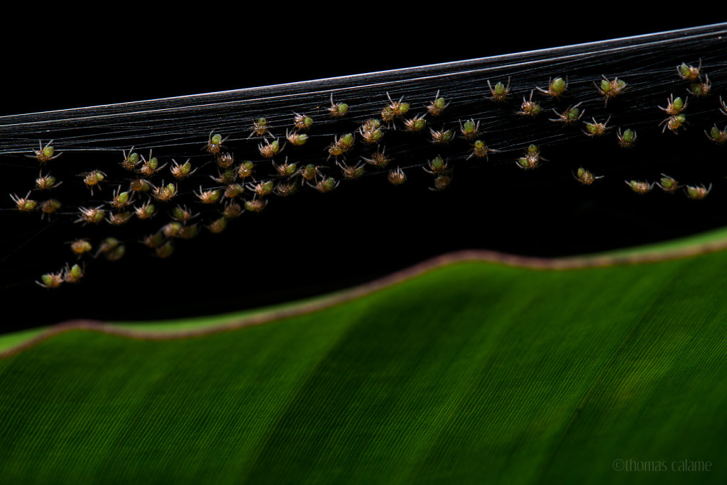 Spider hatchlings